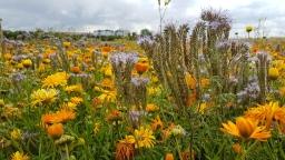 Blumenfelder für die BUGA 2021