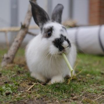 Kaninchen am Mümmeln